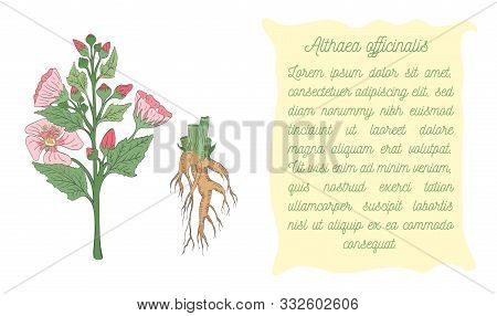 Banner With Colored Bush Of Marsh-mallow With Root