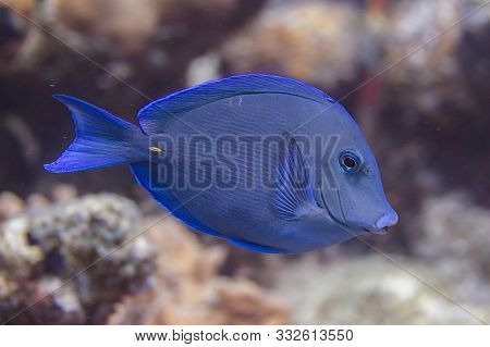 Atlantic Blue Tang On Coral Reef Off Bonaire, Dutch Caribbean