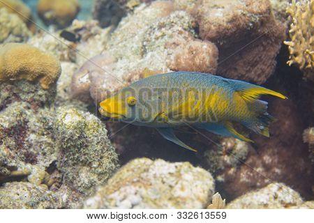Spanish Hogfish On Coral Reef Off Bonaire, Dutch Caribbean