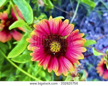 Indian Blanket Sunflower -  Gaillardia Pulchella