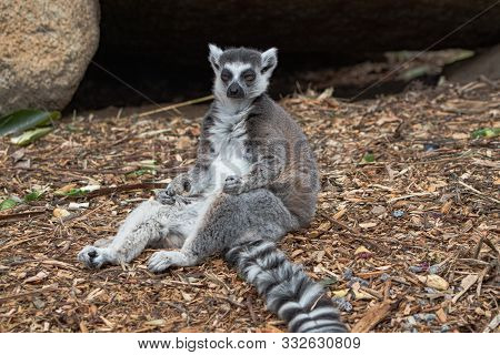 A Ring Tailed Lemur Having A Rest After A Long Day Of Play