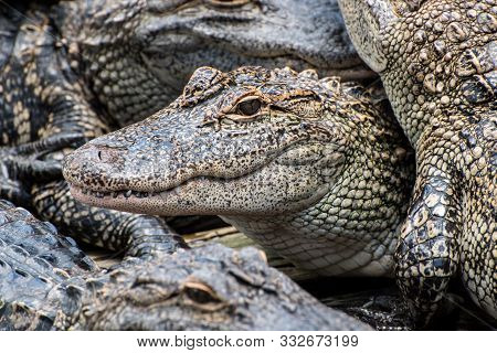 A Menacing Pile Of Hungry Alligators Waiting To Be Fed.