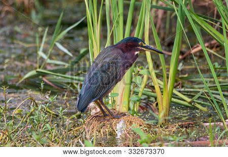 A Green Heron Standing In A Swamp.