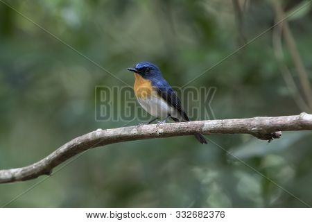 The Chinese Blue Flycatcher (cyornis Glaucicomans) Is A Small Passerine Bird In The Flycatcher Famil