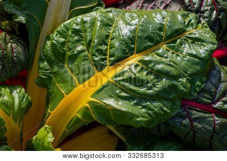 Close-up Of Red-yellow-green Stemmed Chard In The Summer Time Vegetable Garden. Macro Photography Of