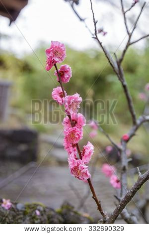 Prunus Mume Flower
