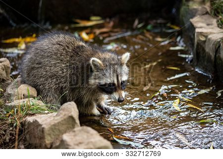Portrait Of Young Common Raccoon Testing The River Water. Photography Of Lively Nature And Wildlife.