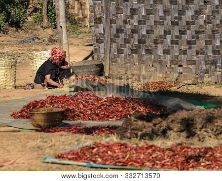 Kalaw, Myanmar - February 01, 2018: Burmese Woman Wearing Traditional Outfit Working With Dried Chil