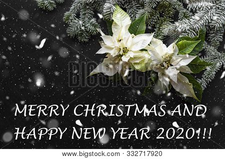 Poinsettia Flower With Fir Tree And Snow On Dark Background. Greetings Christmas Card. And New Year