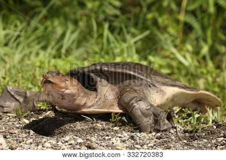 Soft Shelled Turtle, Also Called Florida Softshell Turtle (apalone Ferox) In Everglades National Par