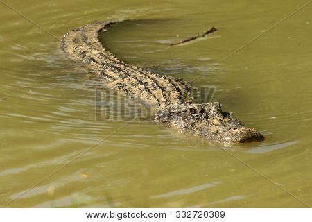 American Alligator (alligator Mississippiensis) Having A Rest In The Water. America Alligator Swimmi