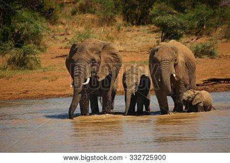 African Bush Elephant Big Family (loxodonta Africana) Drinking Water From The Lake In Evening Sun. G