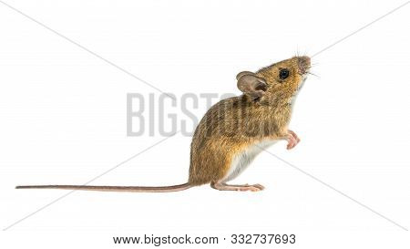Interested Wood Mouse (apodemus Sylvaticus) Isolated On White Background. This Cute Looking Mouse Is