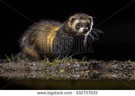 European Polecat (mustela Putorius) In Darkness Under Natural Nocturnal Circumstances.