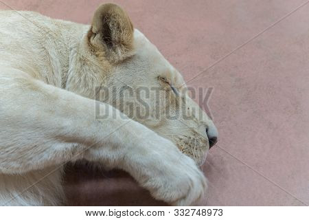 Sleeping Lioness. Close-up. A Young Lioness Sleeps In A Zoo