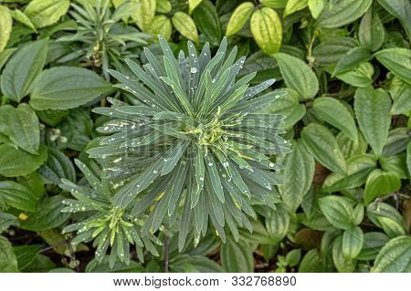 Euphorbia Characias Known As Spurge Black Pearl, Albanian Or Large Mediterranean Spurge With Dew On