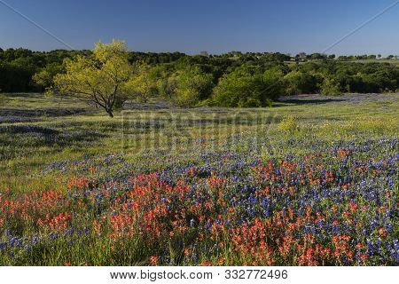 Bluebonnet Filled Meadow On The Ennis Bluebonnet Trail In Ellis County, Texas.