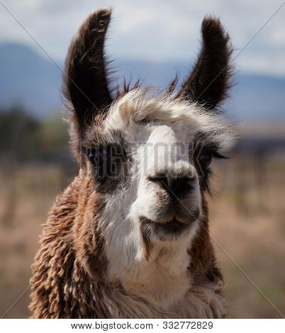 Close Up Of The Face Of A Beautiful Two Toned Adult Female Llama.