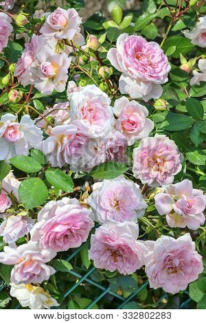 Blossoming Bush Of Pale Pink English Roses In Rose Garden With Gentle Terry Fragrant Flowers In Full