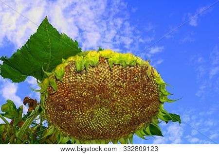 Bright And Showy Big Yellow Sunflower On Blue Sky With Clouds Background Close Up.