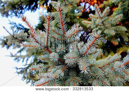 Fir Tree Pine Branch Spruce Forest White Background. Spruce Or Pine Tree December Scene As Fir Pine