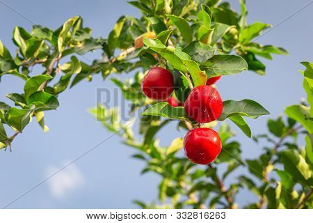 Red Cherry Thai Or Acerola Cherries Fruit On The Tree, High Vitamin C And Antioxidant Fruits. Select