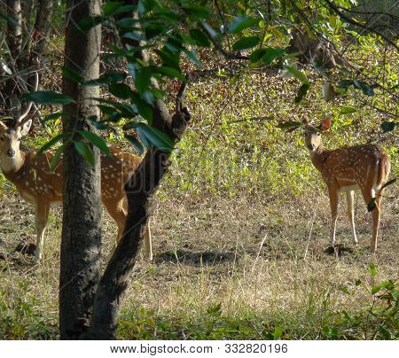 Chital Or Cheetal, Also Known As Spotted Deer At Bandhavgarh National Park, India