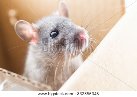 Portrait Of A Curious Gray Rat, Little Cute Gray Mouse Is Sitting In A Box