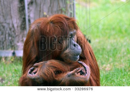 Portrait of Orangutan with arms folded and funny expression. poster