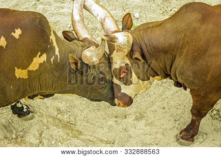 2 Adult Bulls (possibly Steers Or Oxes) Showing Their Dominance By Butting Heads And Locking Their H