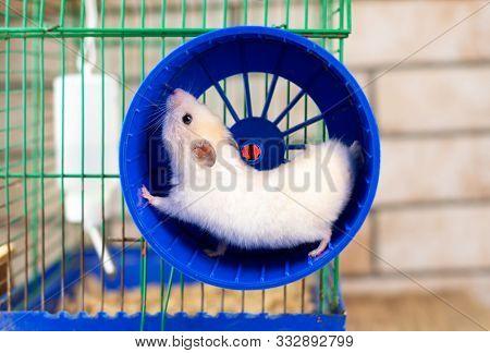 Hamster Running In The Running Wheel Isolated On White Backgroun