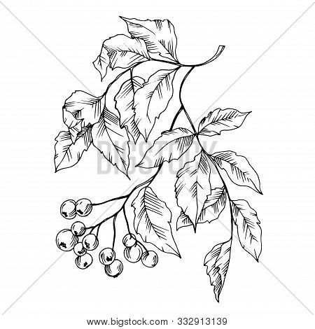 Vector Sorbus Leaf And Berries. Black And White Engraved Ink Art. Isolated Sorbus Illustration Eleme