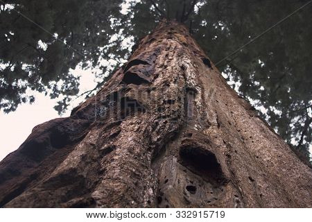 Giant Old Sequoia Tree In Sequoia National Park, California. An Endangered Species Of Trees That Are