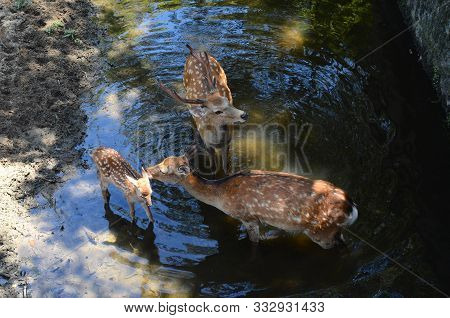 Deer Family, Mother Licking Fawn Baby, In Nara, Japan