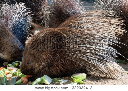 Group Of Cape Porcupine Eats Vegetables (hystrix Africaeaustralis)