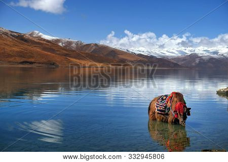Tibetan Yak In The Waters Of The Yamdrok Lake, Reflecting The Mt. Naiqinkangsang Against A Blue Clea