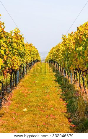 Autumn Vineyard In Yellow And Orange Colors With Ripe Grapes Of Pinot Gris. Fall Vineyards Leading D