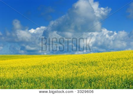 Canola Field And Sky