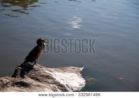 The Sleeping Bird On A Rock In The Pond