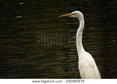 Hermosa Garza Blanca Cerca De Un Lago