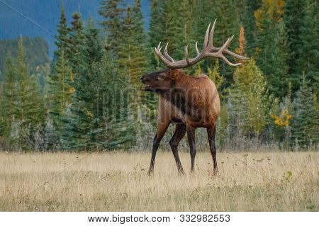 Elk King Nervously Watching His Herd Of Females In Mating Season