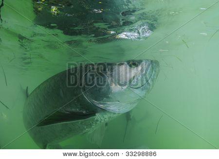 Tarpon Fish Swimming Underwater