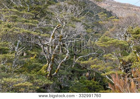 High Alpine Forest Trees And Vegetation Background. Arthurs Pass National Park In New Zealand
