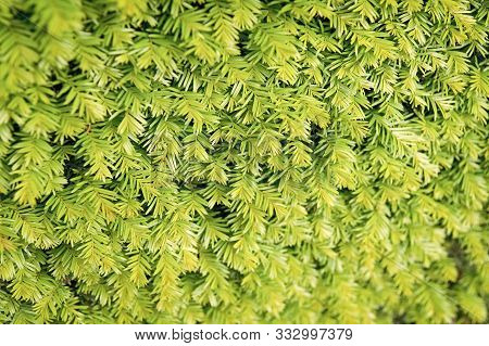 Fir Texture Backdrop. Fir Tree Needles Green Background. Christmas Tree Branches. Evergreen Forest O