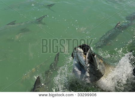 Tarpon Fish Jumping Out Of Water With Other Tarpons Swimming Nearby