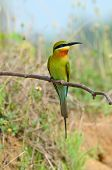 beautiful blue tailed bee eater (Merops philippinus) possing poster