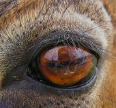 Glance .Reflection of photographer in deer eye. poster