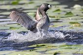 Pied-billed Grebe protecting her nest from an intruder poster