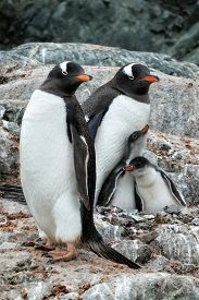 Gentoo penguin parents with chicks on a rocky outcropping along the Antarctica Peninsula.