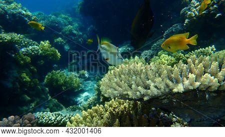 Assasi Triggerfish Or Arabian Picassofish (rhinecanthus Assasi) And Sulphur Damsel (pomacentrus Sulf